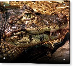 Acrylic Print featuring the photograph Crocodile by Jeremy Martinson