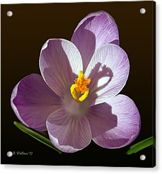 Crocus In Full Bloom Acrylic Print by Brian Wallace