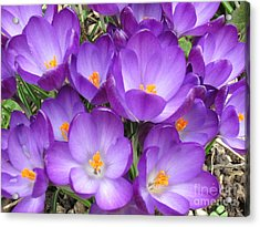 Acrylic Print featuring the photograph Crocus by Laurianna Taylor