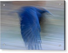 Crow Motion Acrylic Print