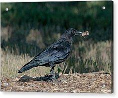 Crow Acrylic Print by Stephen  Johnson