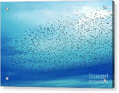 Crows On The Move Acrylic Print