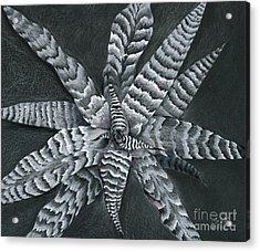 Cryptanthus Absolute Zero Acrylic Print