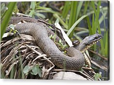 Acrylic Print featuring the photograph Cuddling Snakes by Jeannette Hunt