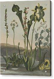 Curious American Bog Plants Acrylic Print by Robert John Thornton
