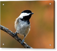 Curious Black-capped Chickadee Acrylic Print
