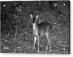 Curious Fawn Acrylic Print by Jake Busby