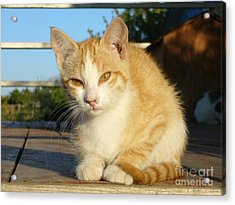 Acrylic Print featuring the photograph Curious Kitten by Jim Sauchyn