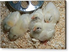 Cute And Fuzzy Chicks Acrylic Print by Chalet Roome-Rigdon