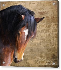 Cute Bay Horse With Long Mane Acrylic Print by Ethiriel  Photography