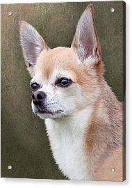 Acrylic Print featuring the photograph Cute Fawn Chihuahua Dog by Ethiriel  Photography