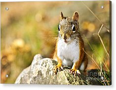 Cute Red Squirrel Closeup Acrylic Print by Elena Elisseeva