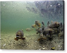 Cutthroat Trout School In Lake Acrylic Print by Michael S. Quinton