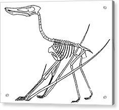 Cycnorhamphus Suevicus Acrylic Print by Science Source