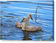 Cygnet Siblings Acrylic Print by Whispering Feather Gallery