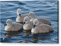 Cygnets At Menlo Pier Acrylic Print by Peter Skelton