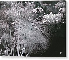 Cyperus Papyrus Acrylic Print by Christine Till