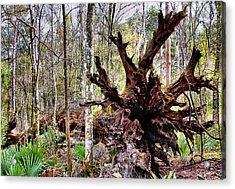 Cypress Roots Acrylic Print by Kristin Elmquist