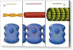 Cytoskeleton Components, Diagram Acrylic Print by Art For Science