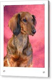 Dachshund 472 Acrylic Print by Larry Matthews