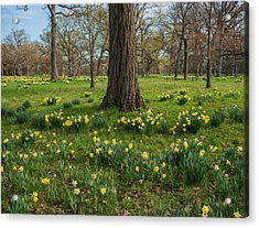 Daffodil Glade Number 2 Acrylic Print