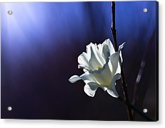 Daffodil Light Acrylic Print by Lori Coleman