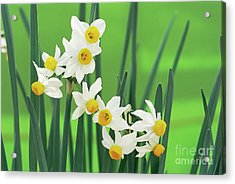 Daffodils (narcissus Canaliculatus) Acrylic Print by Archie Young