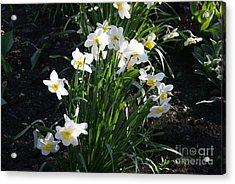 Daffodils Of Suzdal Acrylic Print by Padamvir Singh