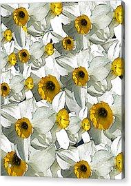 Daffodils Acrylic Print by Patricia Januszkiewicz