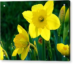 Acrylic Print featuring the photograph Daffodils by Sherman Perry