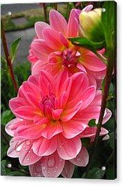 Dahlia Dew Acrylic Print