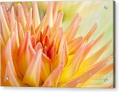 Dahlia Flower 06 Acrylic Print by Nailia Schwarz