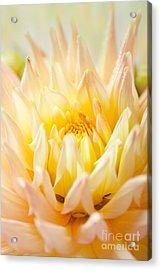 Dahlia Flower 10 Acrylic Print by Nailia Schwarz