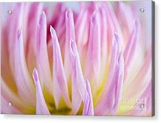 Dahlia Flower 12 Acrylic Print