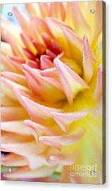 Dahlia Flower 13 Acrylic Print by Nailia Schwarz
