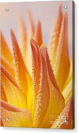 Dahlia Flower 14 Acrylic Print by Nailia Schwarz