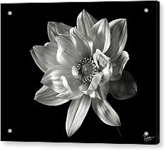 Dahlia In Black And White Acrylic Print by Endre Balogh