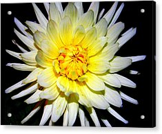 Acrylic Print featuring the photograph Dahlia In White And Yellow by Laurel Talabere