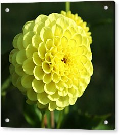 Dahlia In Yellow Acrylic Print by Cathie Tyler