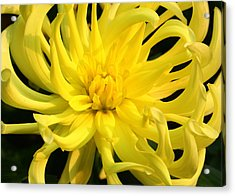 Acrylic Print featuring the photograph Dahlia In Yellow by Laurel Talabere