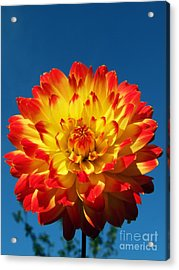 Dahlia 'procyon' Acrylic Print by Ian Gowland and Photo Researchers