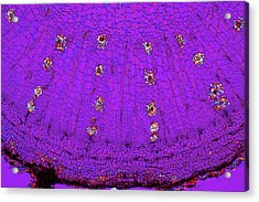 Dahlia Tuber, Light Micrograph Acrylic Print by Dr Keith Wheeler