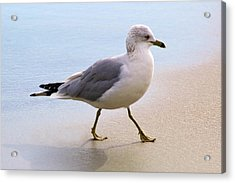 Dainty Sea Gull Acrylic Print by Paulette Thomas