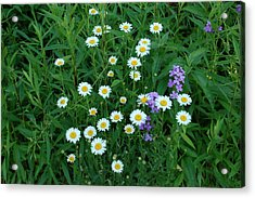 Daisies Acrylic Print by Aimee L Maher Photography and Art Visit ALMGallerydotcom