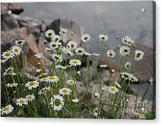 Daisies And How They Grow Acrylic Print