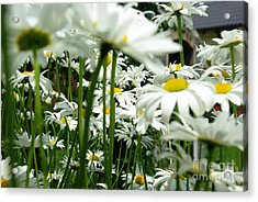 Acrylic Print featuring the photograph Daisies In My Garden by AmaS Art