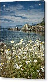 Daisies On Maine's Acadia Shoreline Acrylic Print by Randall Nyhof