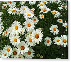 Acrylic Print featuring the photograph Daisies by Wendy McKennon