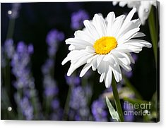 Daisy And Lavender Acrylic Print by Cindy Singleton