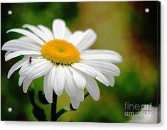Daisy And The Bee Acrylic Print